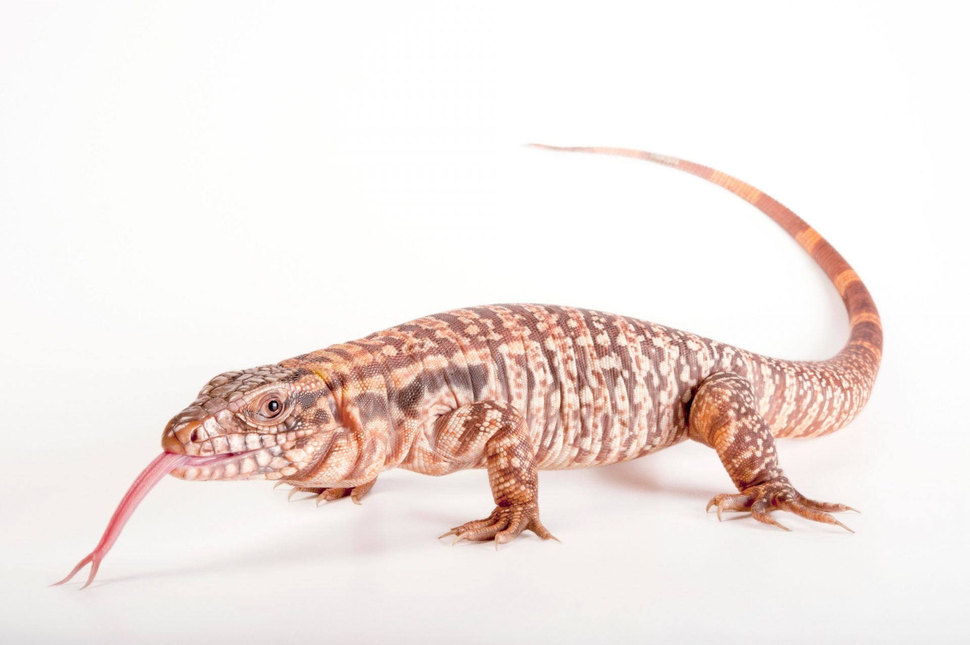 A red tegu lizard (Tupinambis rufescens) at the Gladys Porter Zoo in Brownsville, Texas.