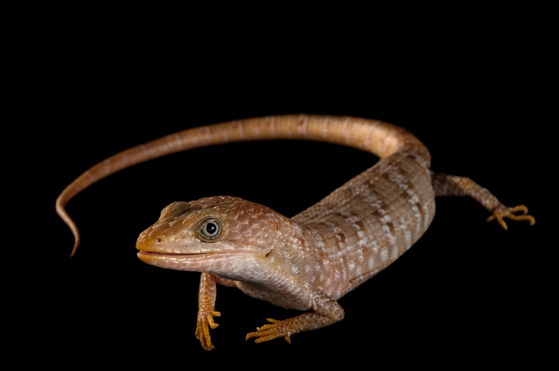 A Texas alligator lizard (Gerrhonotus infernalis) at the Gladys Porter Zoo in Brownsville, Texas.