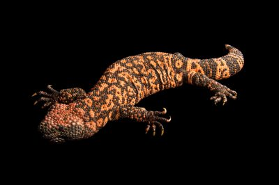 Picture of a reticulate gila monster (Heloderma suspectum suspectum) at the Gladys Porter Zoo in Brownsville, Texas.