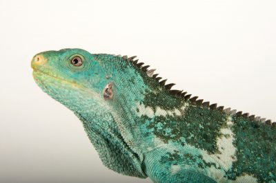 Photo: A Fiji Island crested iguana (Brachylophus vitiensis), a critically endangered reptile at the Taronga Zoo.