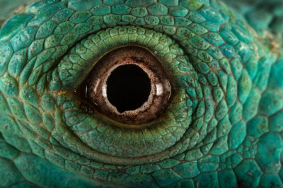 Photo: The eye of a Fiji Island crested iguana (Brachylophus vitiensis), a critically endangered reptile at the Taronga Zoo.