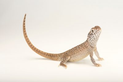Picture of a central netted dragon (Ctenophorus nuchalis) at the Wild Life Sydney Zoo.