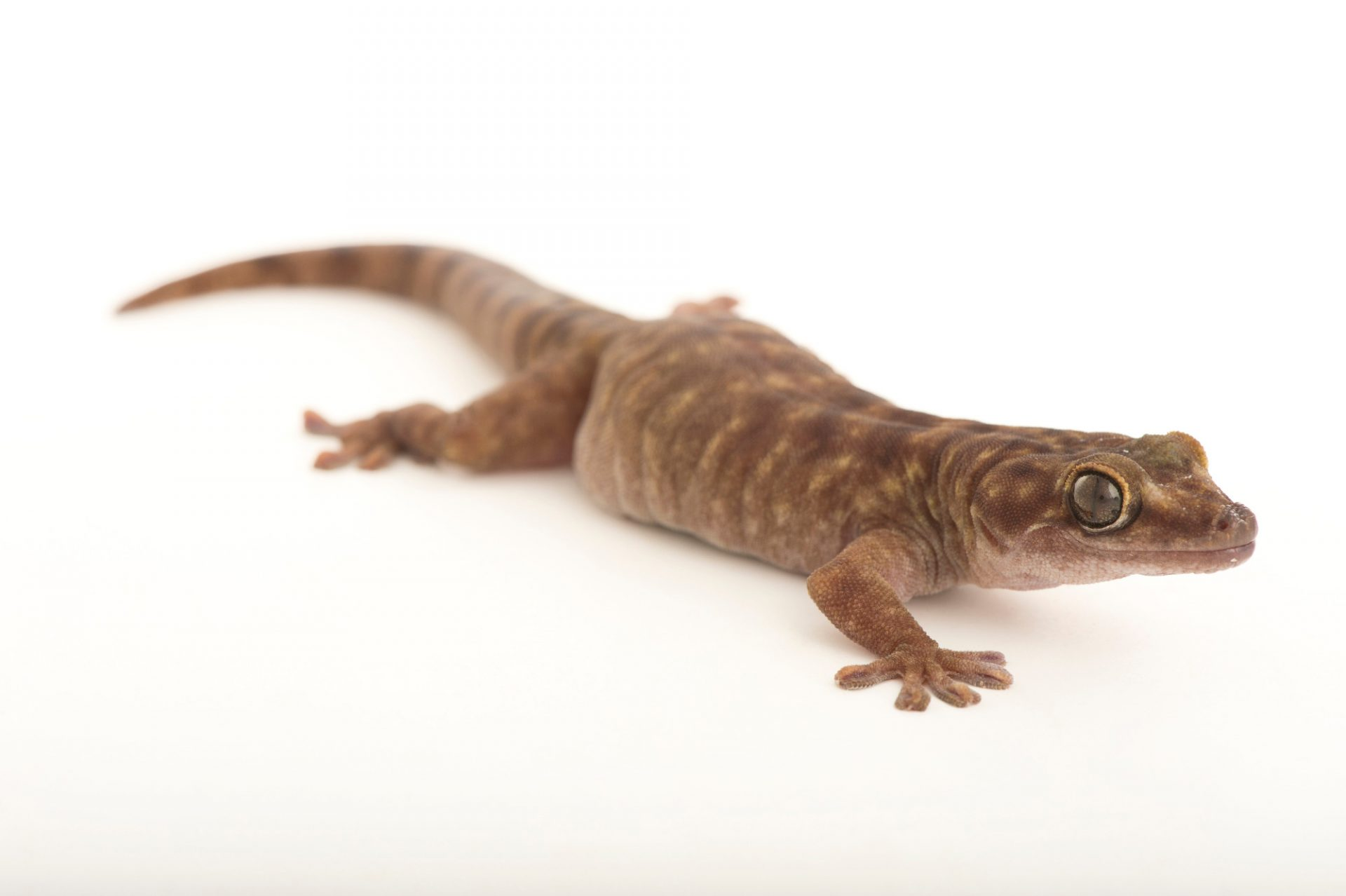 Picture of a giant cave gecko (Pseudothecadactylus lindneri) at the Wild Life Sydney Zoo.