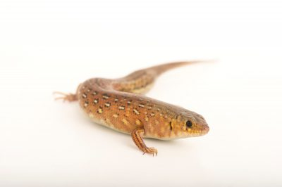 Picture of a leopard skink (Ctenotus pantherinus) at the Wild Life Sydney Zoo.