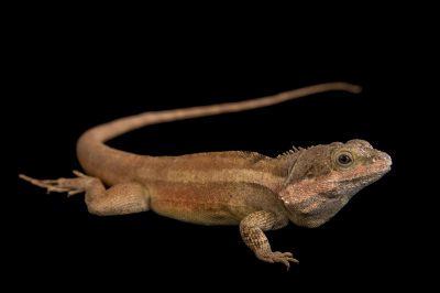 Picture of a northern latchtail or Northern water dragon (Lophognathus temporalis) at the Wild Life Sydney Zoo.
