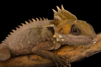 Picture of a Boyd's forest dragon (Hypsilurus boydii) at the Wild Life Sydney Zoo.