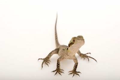 Picture of an Eastern water dragon (Physignathus lesueurii lesueurii) at the Wild Life Sydney Zoo.