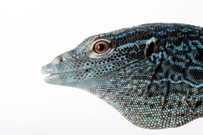 A blue spotted tree monitor (Varanus macraei) at the Gladys Porter Zoo in Brownsville, Texas.