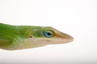 An American green anole or Carolina anole (Anolis carolinensis) at the Audubon Zoo in New Orleans, Louisiana.