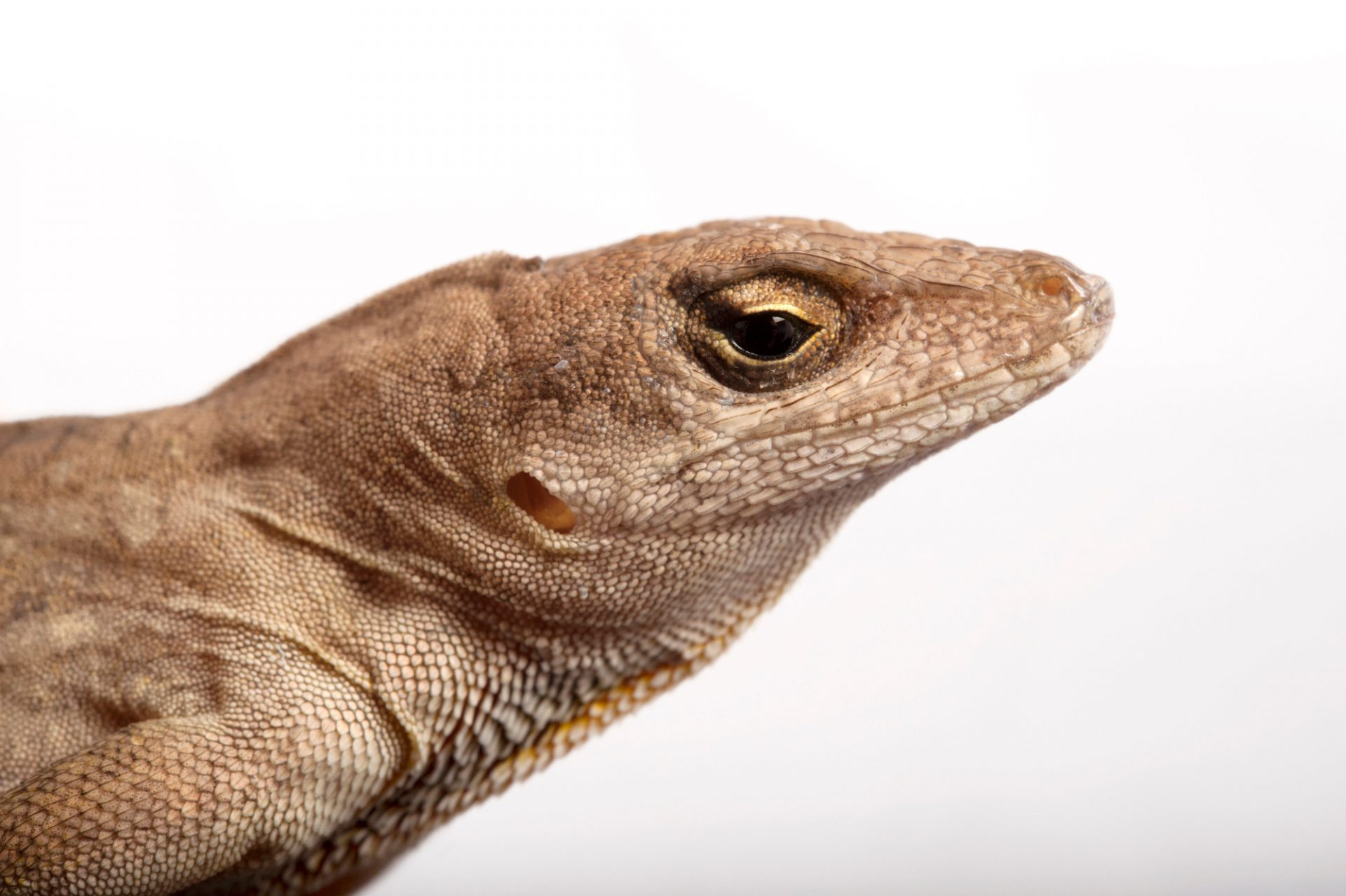 A brown anole (Anolis sagrei) at the Audubon Zoo in New Orleans, Louisiana.