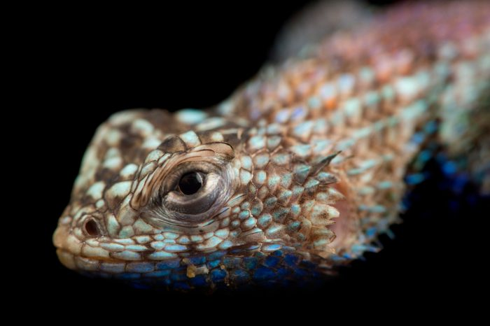 Picture of a granite spiny lizard (Sceloporus orcutti) at the Santa Barbara Zoo.