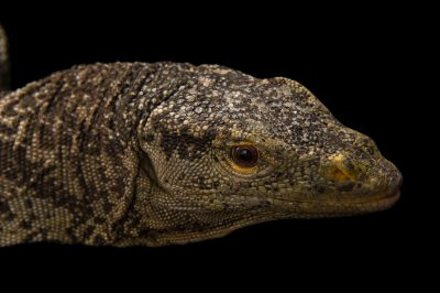Picture of a vulnerable Gray's monitor (Varanus olivaceus) at the Oklahoma City Zoo.