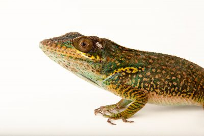 Picture of a baracoa anole (Anolis baracoae) in a private collection in Houston, Texas.