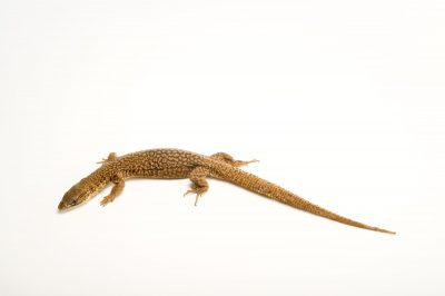 Picture of a Storr's monitor (Varanus storri) at the Oklahoma City Zoo.
