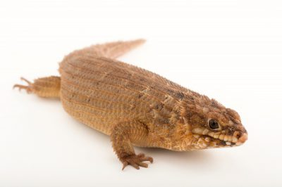 Picture of a Hosmer's spiny-tailed skink (Egernia hosmeri) from the Tulsa Zoo.