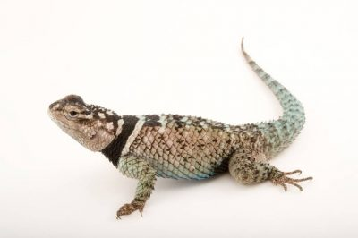 Picture of a blue spiny lizard (Sceloporus serrifer cyanogenys) at the Tulsa Zoo.