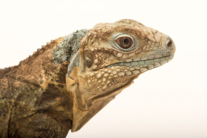 Picture of an endangered (IUCN) and federally endangered juvenile Grand Cayman blue iguana (Cyclura nubila lewisi) at the Rolling Hills Zoo.