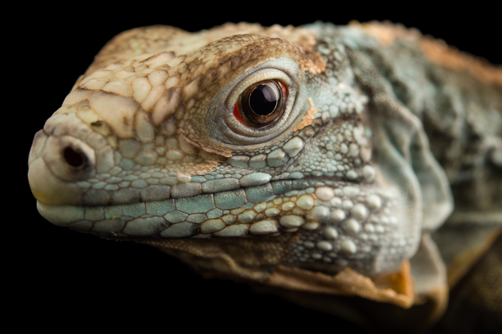 Picture of an endangered (IUCN) and federally endangered juvenile Grand Cayman blue iguana (Cyclura lewisi) at the Rolling Hills Zoo.