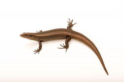 Picture of a vulnerable Falla's skink (Oligosoma fallai) at the Auckland Zoo.