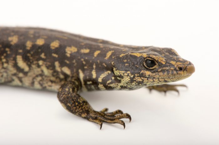 Picture of an endangered otago skink (Oligosoma otagense) at the Auckland Zoo.