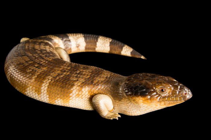 Picture of a western blue tongue lizard (Tiliqua occipitalis) at Wild Life Sydney Zoo.