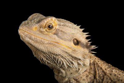 Picture of an Eastern bearded dragon (Pogona barbata) at Wild Life Sydney Zoo.