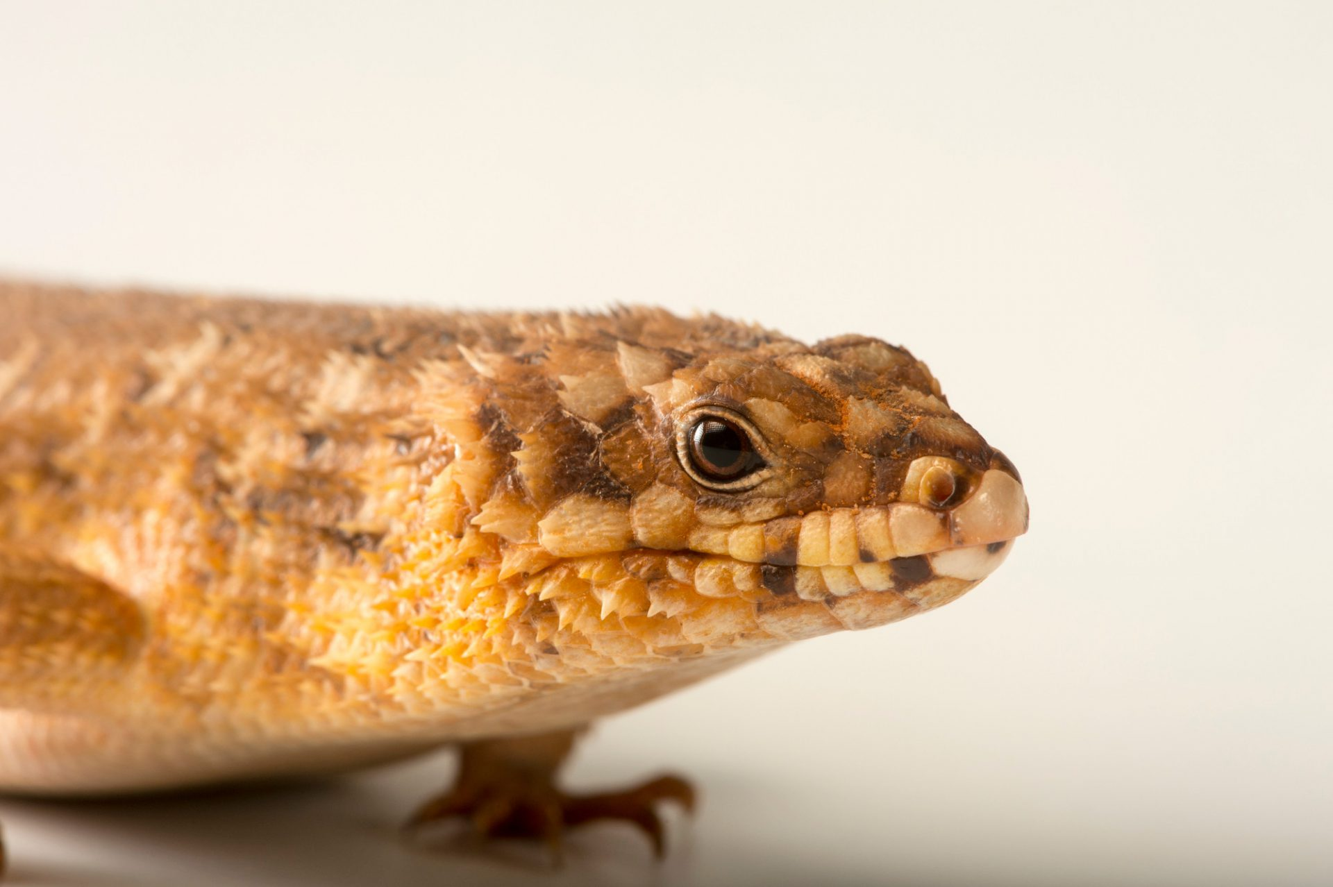 Picture of a Hosmer's spiny-tailed skink (Egernia hosmeri) at Wild Life Sydney Zoo.