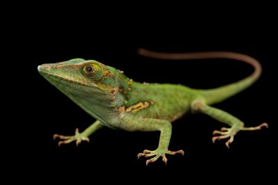 Picture of a Baracoa anole (Anolis baracoae) from a private collection.
