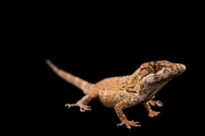 Picture of a Jamaican twig anole (Anolis valencienni) from a private collection.