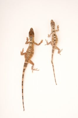 Picture of a Jamaican twig anoles (Anolis valencienni) from a private collection.