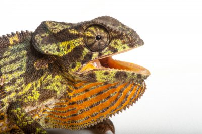 Flap-necked chameleon (Chamaeleo dilepis) collected in Gorongosa National Park.