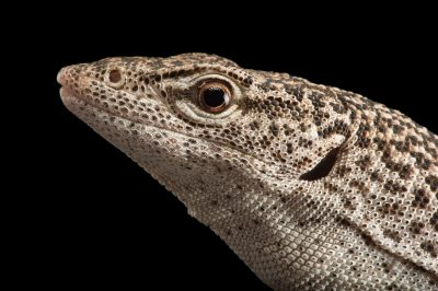 Picture of a banded tree monitor (Varanus scalaris) at the Healesville Sanctuary.