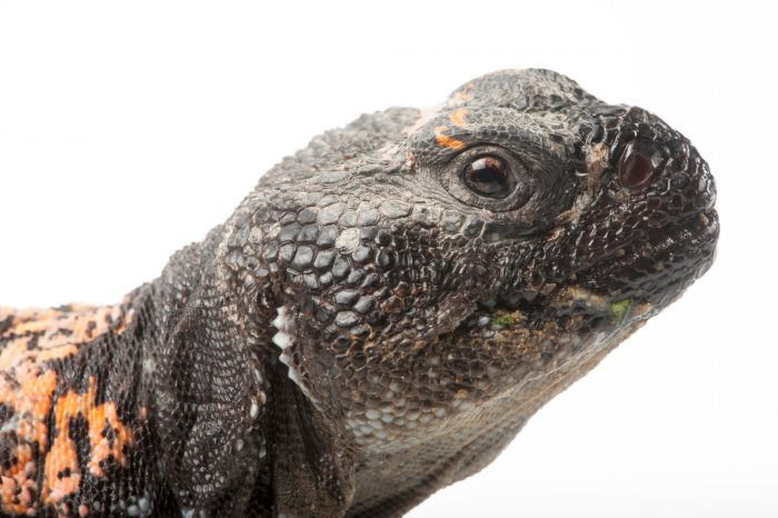 A Dabb spiny-tailed lizard (Uromastyx acanthinura) at the Fort Worth Zoo.