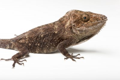Photo: A Garrido's crested anole (Chamaeleolis barbatus) at the St. Louis Zoo.