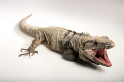 Picture of a vulnerable spiny-tailed iguana (Ctenosaura hemilopha conspicuosa) at the St. Louis Zoo.