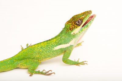 A Cuban knight anole (Anolis equestris) at the Houston Zoo.