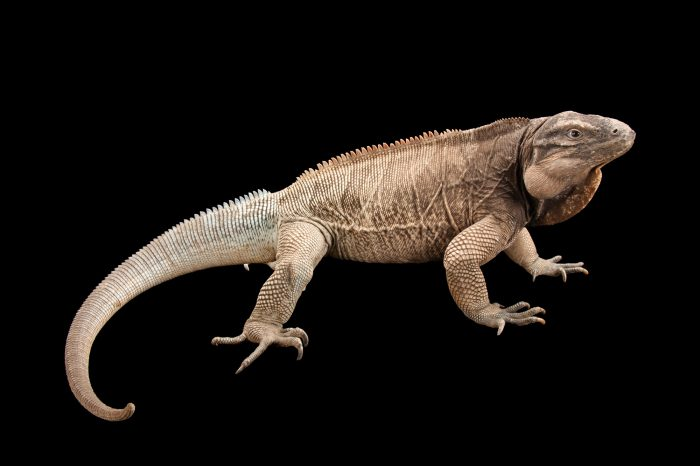 A critically endangered (IUCN) and federally endangered Anegada ground iguana (Cyclura pinguis) at the Houston Zoo.