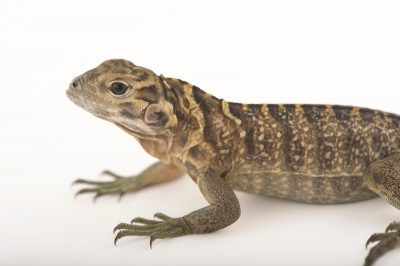 Photo: A young, critically endangered Jamaican iguana (Cyclura collie) at the Sedgwick County Zoo.