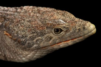 Picture of a red-lipped arboreal alligator lizard (Abronia lythrochila) at the Saint Louis Zoo.