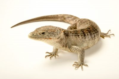 A picture of a red-lipped arboreal alligator lizard (Abronia lythrochila) at the Saint Louis Zoo.