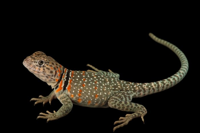 Picture of an Eastern collared lizard (Crotaphytus collaris) at the Saint Louis Zoo.