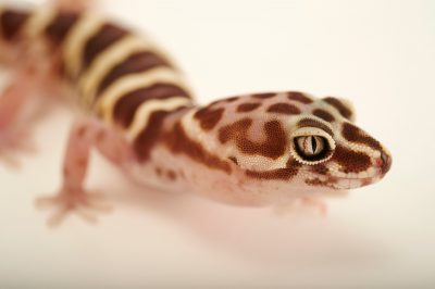 Picture of a western banded gecko (Colenyx variegatus) at Springs Preserve.