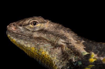 Picture of a desert spiny lizard (Sceloporus magister magister) at Springs Preserve.