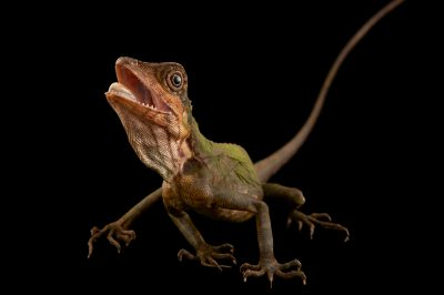 Picture of a great anglehead lizard (Gonocephalus grandis) from a private collection.