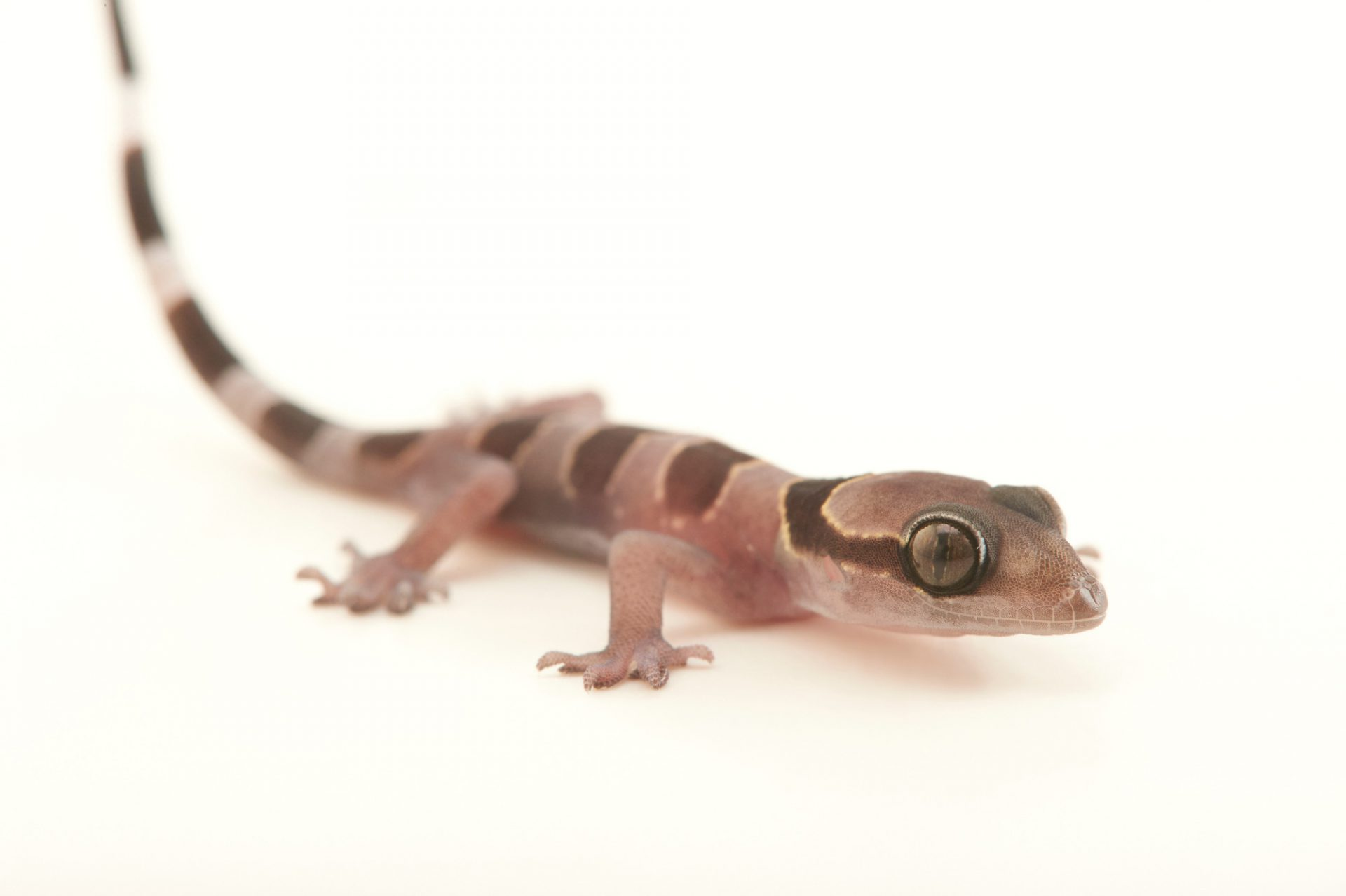Picture of a West African forest gecko (Hemidactylus kyaboboensis) from a private collection.
