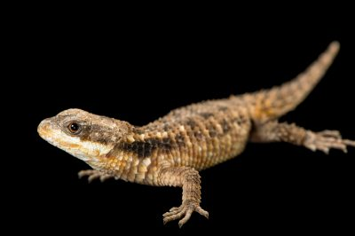 An East African spiny-tailed lizard (Cordylus tropidosternum) at the Chattanooga Zoo.