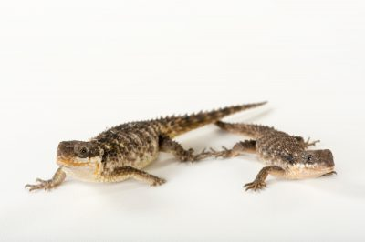 Two East African spiny-tailed lizard (Cordylus tropidosternum) at the Chattanooga Zoo.