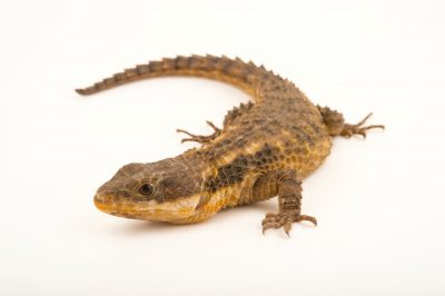 Photo: Cape girdled lizard (Cordylus cordylus) at the Budapest Zoo.