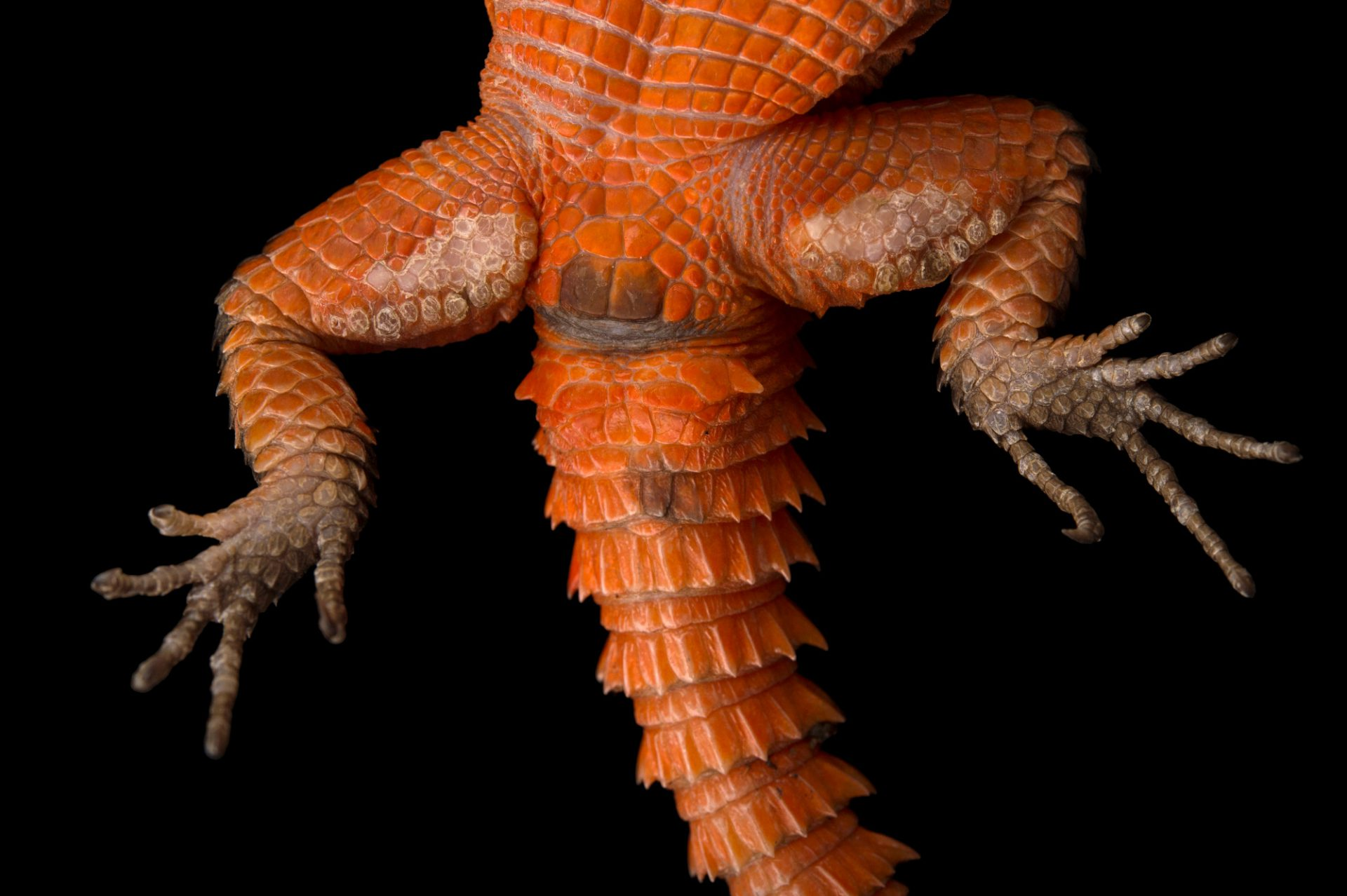 Photo: Underside of a Mozambique girdled lizard [Smaug mossambicus) at the Sedgwick County Zoo.