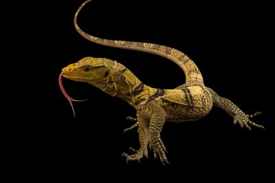 Picture of a vulnerable, baby Gray's monitor (Varanus olivaceus) at the LA Zoo.